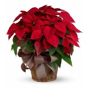 Christmas Star Plant